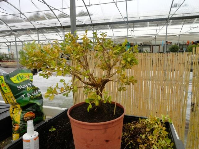 Otro pre-bonsai