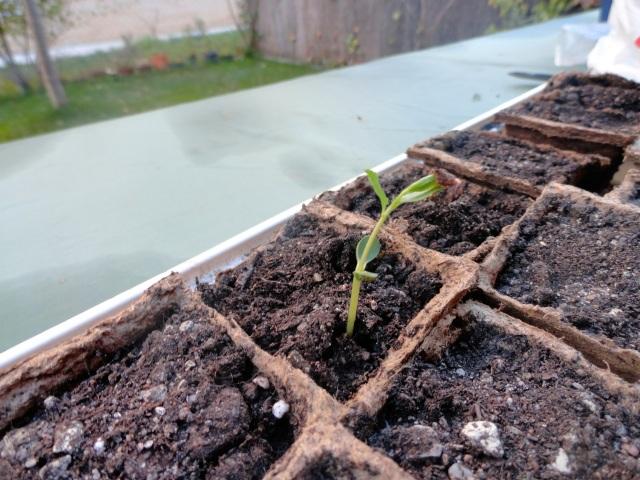 Comienza a sacar hojitas, mientras intenta liberarse de la dura carcasa de la semilla